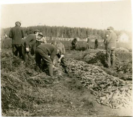 Red Deer Archives, P5504; Patients and staff at the Soldiers'Sanatorium harvesting carrots, 1919