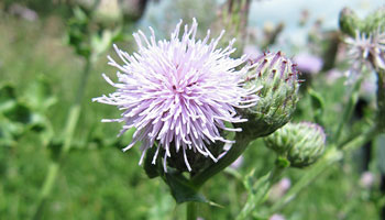 Photo of the weed, Canada Thistle