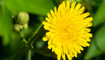 Photo of Perennail Sow-thistle