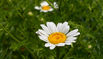 Photo of Scentless-Chamomile