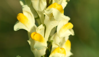Photo of Yellow-Toadflax