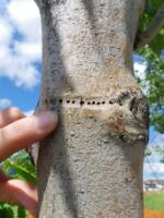 Ash Bark Beetle emergence holes